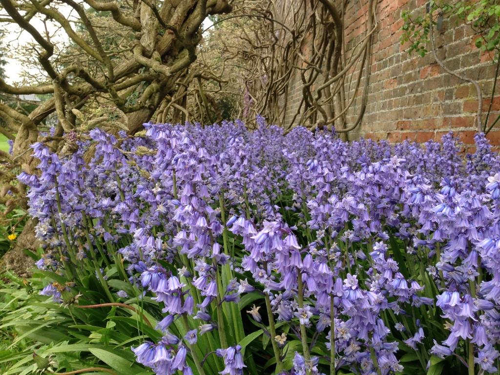 bluebells by a wall